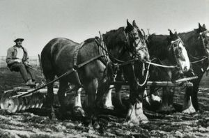 Bob Gardner with draught horses Colony Farm 1920s